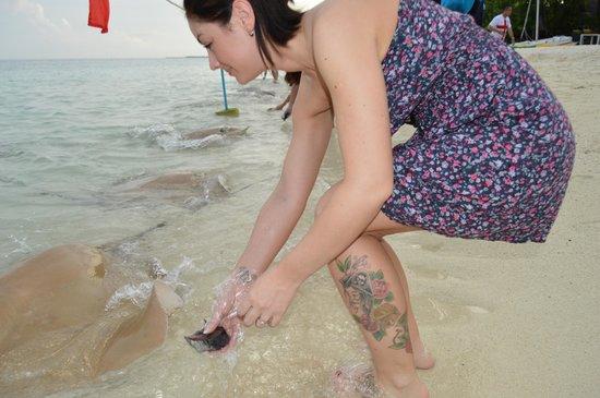 Vivanta by Taj Coral Reef Maldives : Stingray feeding
