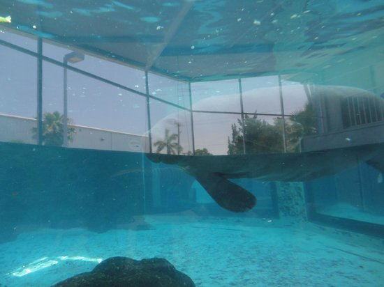 Mote Marine Laboratory and Aquarium: Manatee exhibit