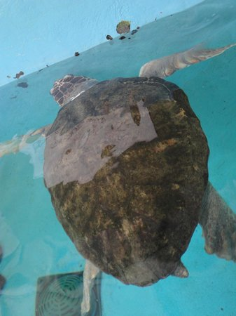 Mote Marine Laboratory and Aquarium: sea turtle exhibit