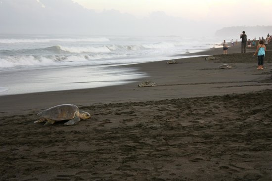 Hotel Luna Azul: Turtles nesting at Playa Ostional!