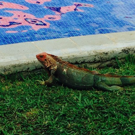 Los Suenos Marriott Ocean & Golf Resort: Iguana near water
