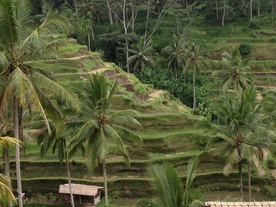 Tegalalang Rice Terrace : Rice terraces