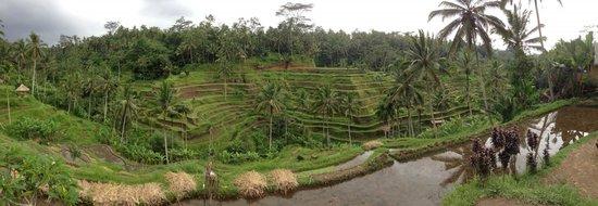 Tegalalang Rice Terrace : Panoramic view