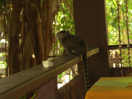 Pontal De Ocapora: Macaquinho que aparece no café da manhã