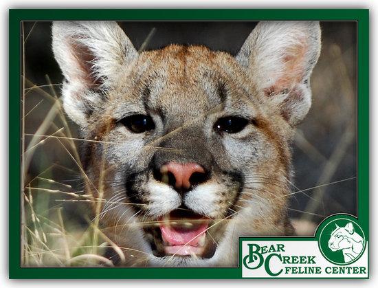 Bear Creek Feline Center: Young Florida Panther