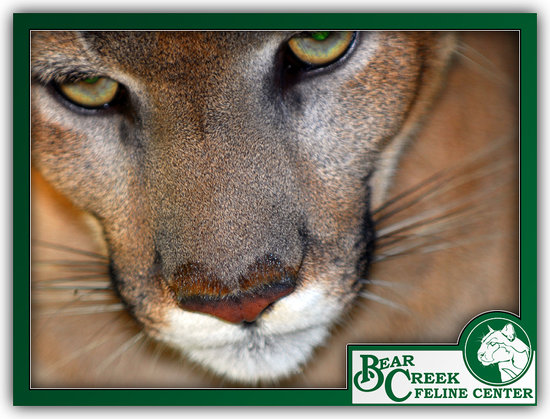 Bear Creek Feline Center: Florida Panther