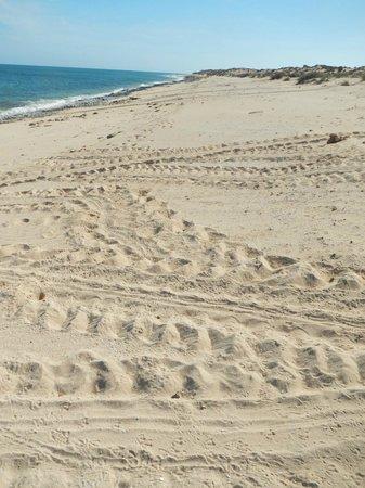 Jurabi Turtle Centre: Turtle tracks visible nearly morning on Mauritius beach