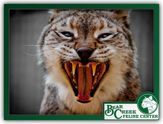 Bear Creek Feline Center: Meow
