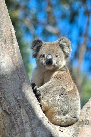 Southern Ocean Lodge: Local koala