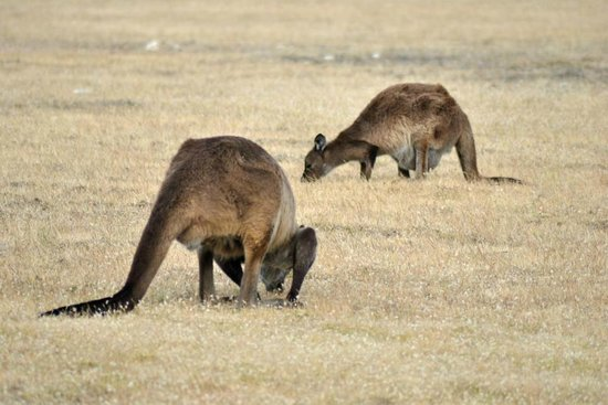 Southern Ocean Lodge: Kangaroos and canapés excursion