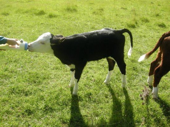 Loch Vista Lakeview Accommodation: feeding the newborn calf
