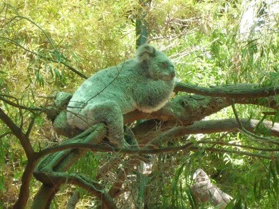 Perth Zoo: Koala