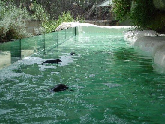 Perth Zoo : Penguins
