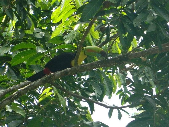 Living Forest: Toucan