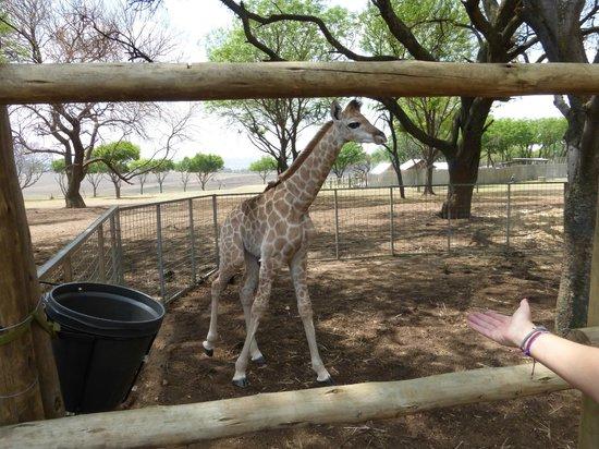 Wildside Tent Camp Lion Park: Giraffa di pochi giorni