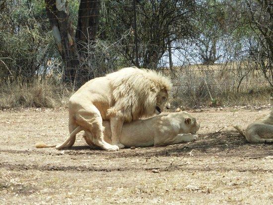 Wildside Tent Camp Lion Park: Accoppiamento leoni