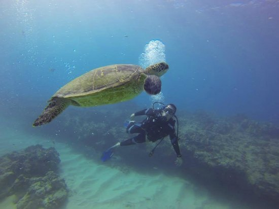 Oahu Diving: Honu in Turtle Canyon, always majestic