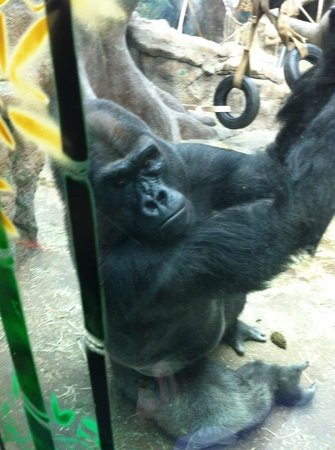 St. Louis Zoo: Got to see the gorillas up close and personal