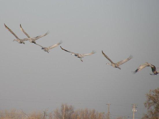 Cosumnes River Preserve: Cranes in Flight