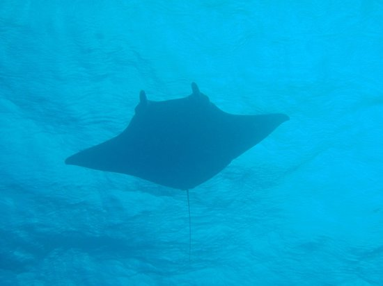 Coral Paradise Resort: Manta Ray on the East Coast of Bonaire
