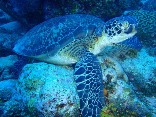 Coral Paradise Resort: Green Sea Turtle in Bonaire