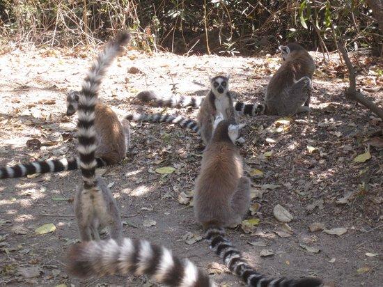 Le Relais de la Reine: The ring tailed lemurs in the canyon