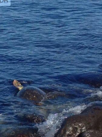 Ma'la - An Ocean Tavern: Sea turtle