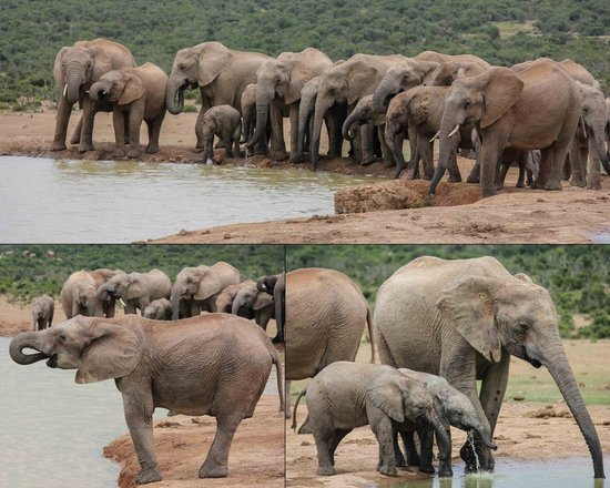 Addo Dung Beetle Guest Farm : Elephants at a waterhole