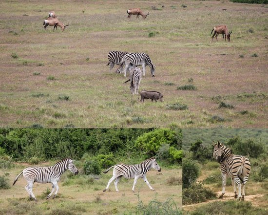 Addo Dung Beetle Guest Farm : Beautiful Zebra