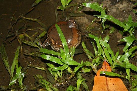 Vongdeuan Resort : те самые мычащие лягушки