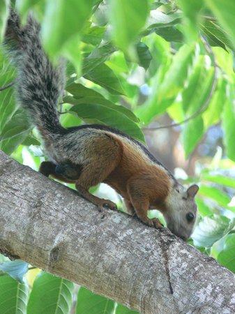 The Westin Golf Resort & Spa, Playa Conchal : Squirrels around resort