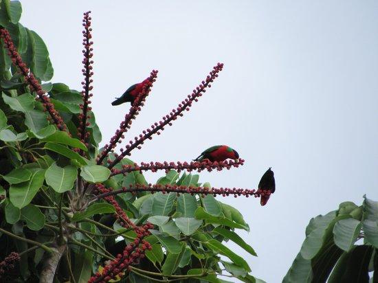 The Warwick Fiji : Colorful visitors in the resort garden