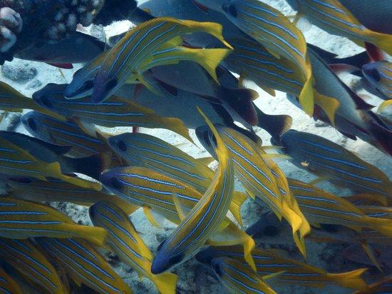 Kuredu Island Resort & Spa : poissons dans le lagon