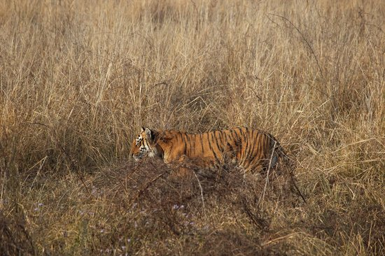 Jim Corbett National Park, Indie: The rare and amazing Tiger hunts in the grass.