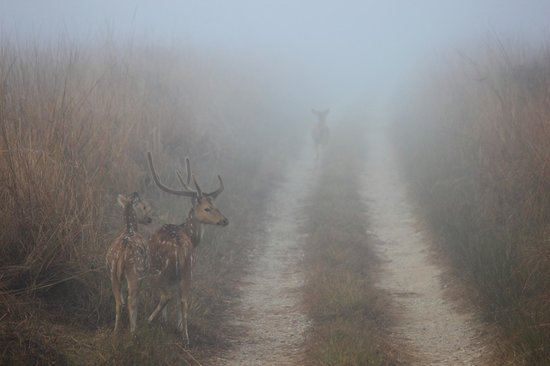 Jim Corbett National Park, Indien: Spotted deer warning for a tiger in the grasslands.