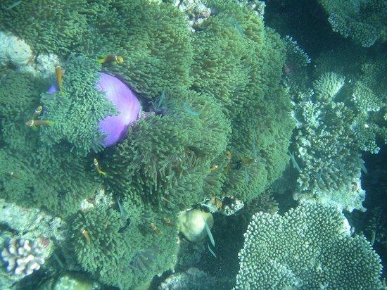 Gangehi Island Resort: We found Nemo!