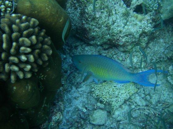 Gangehi Island Resort: Snorkel