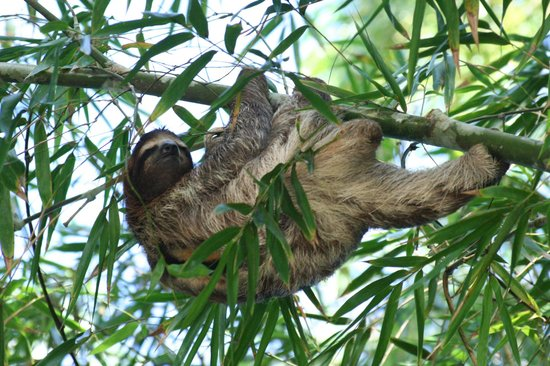 Tree House Lodge: Thomas the sloth in bamboo by the garden house