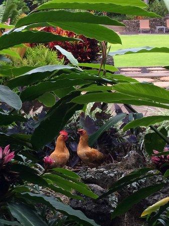 Lumeria Maui Retreat : Chickens running around