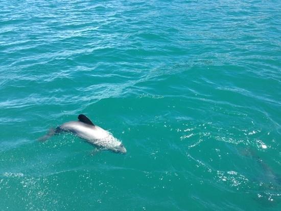 Black Cat Cruises: dolphin swimming around boat