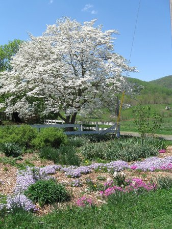 Belle Meade Bed and Breakfast: dogwood blooming