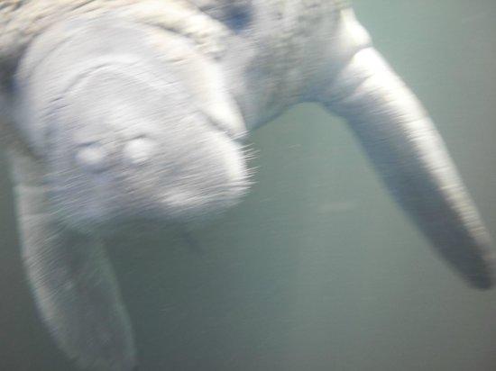 Snorkel With The Manatees : Manatee saying hi