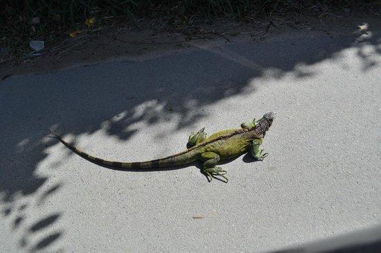Iguana on the road at Cane Bay