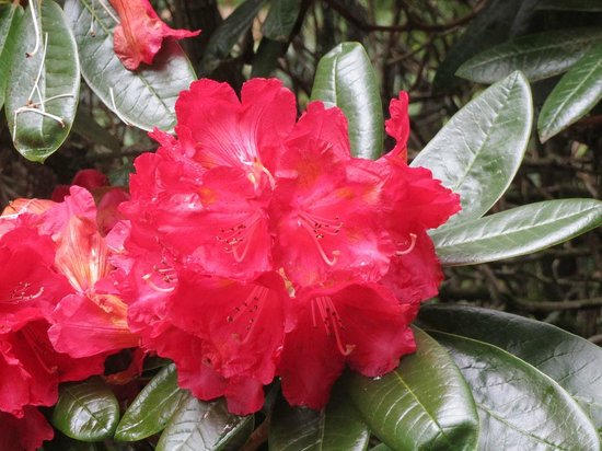 National Rhododendron Gardens: Scarlet rhododendron