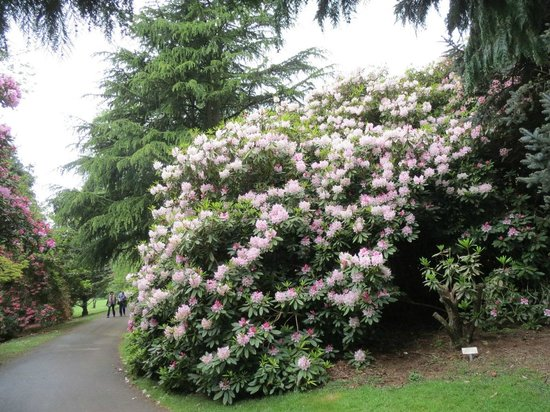 National Rhododendron Gardens: Lovely rhododendron display