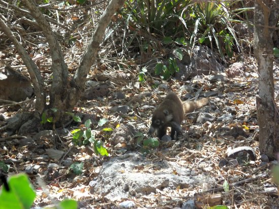 Deer Island (Isla de Venados): A Coati from the island