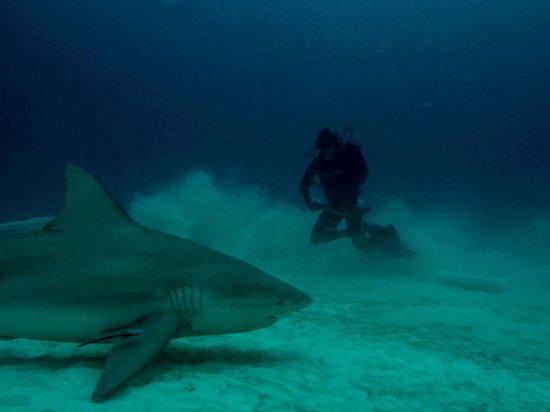 Fantasea Dive - Diving & Adventures : Bull Shark