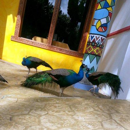 Caribe Club Princess Beach Resort & Spa: Peacocks at El Sombrero Restaurant