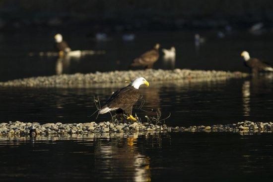 Prestige Sportfishing: Feeding on the gravel bar
