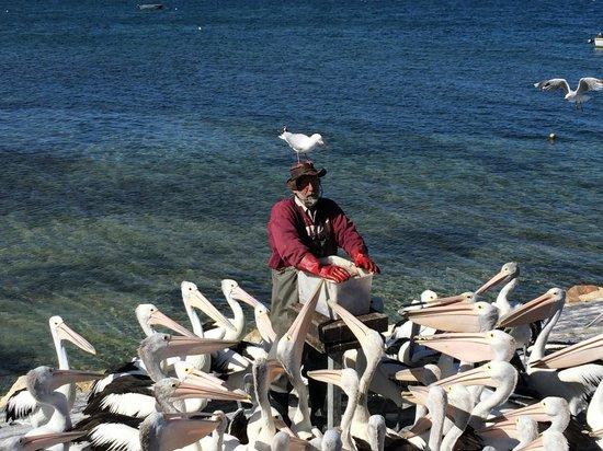 Pelican Feeding : Feeding frenzy!